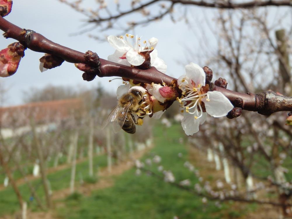 Eine der unzähligen fleissigen Bienen während der Aprikosenblüte