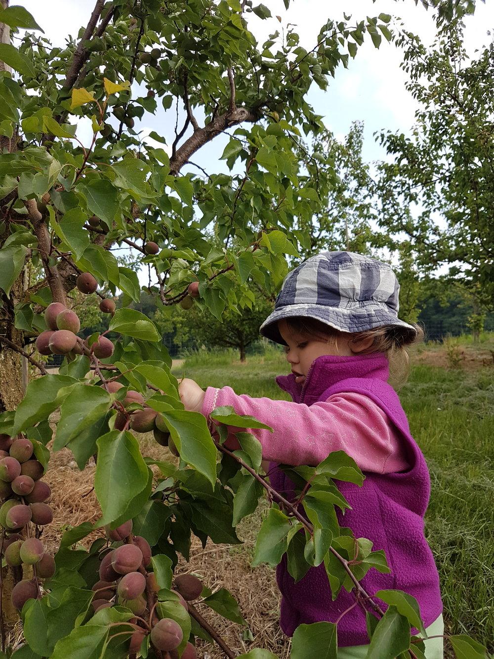 Sarina hilft beim Auspflücken der Aprikosen
