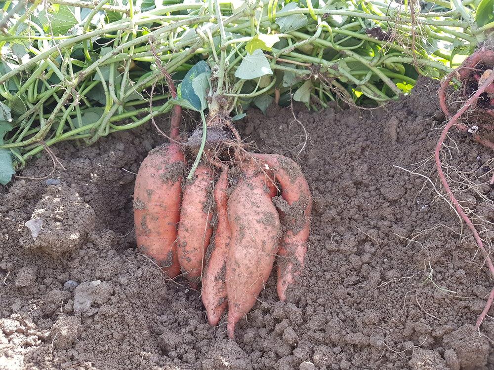 Perfekt gewachsene Süsskartoffeln