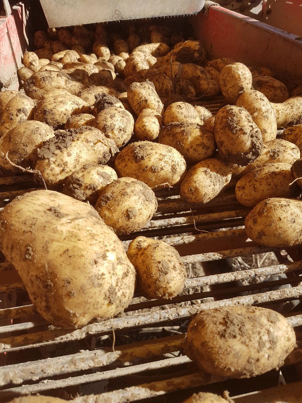 Die letzte Sorte Markies wird zu Pommes Frites verarbeitet