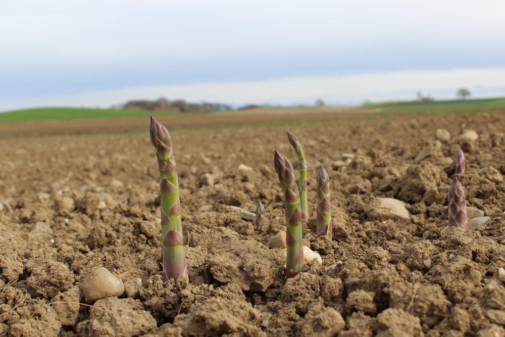 Wir freuen uns schon, wenn sich die Grünspargeln im nächsten Jahr aus dem Boden wagen.