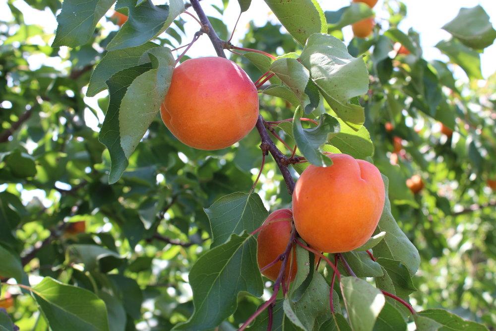 Voll ausgereifte Aprikosen unserer ersten Sorte Orangered