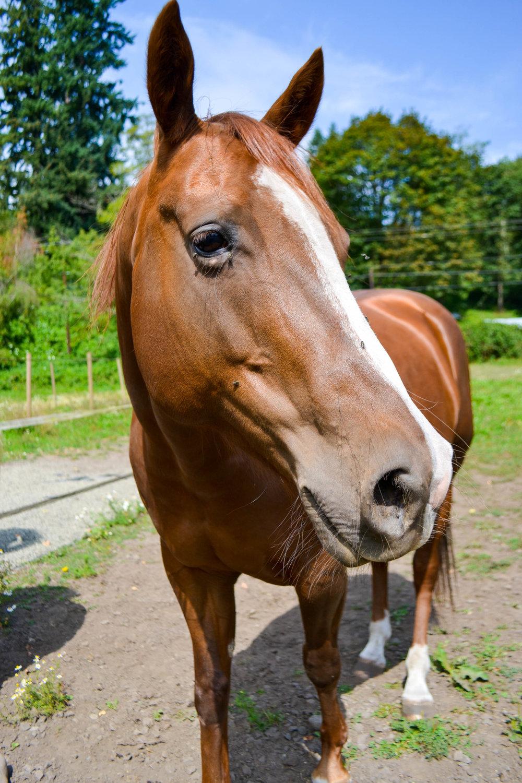 Penny (Quarter Horse mare, 2008)