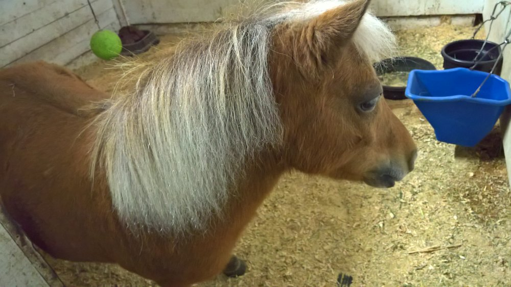 Butterscotch (Mini horse mare, 2008)