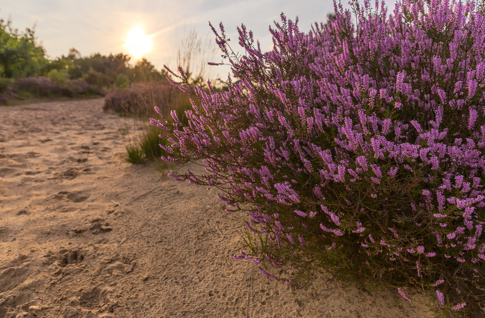Purple Heath