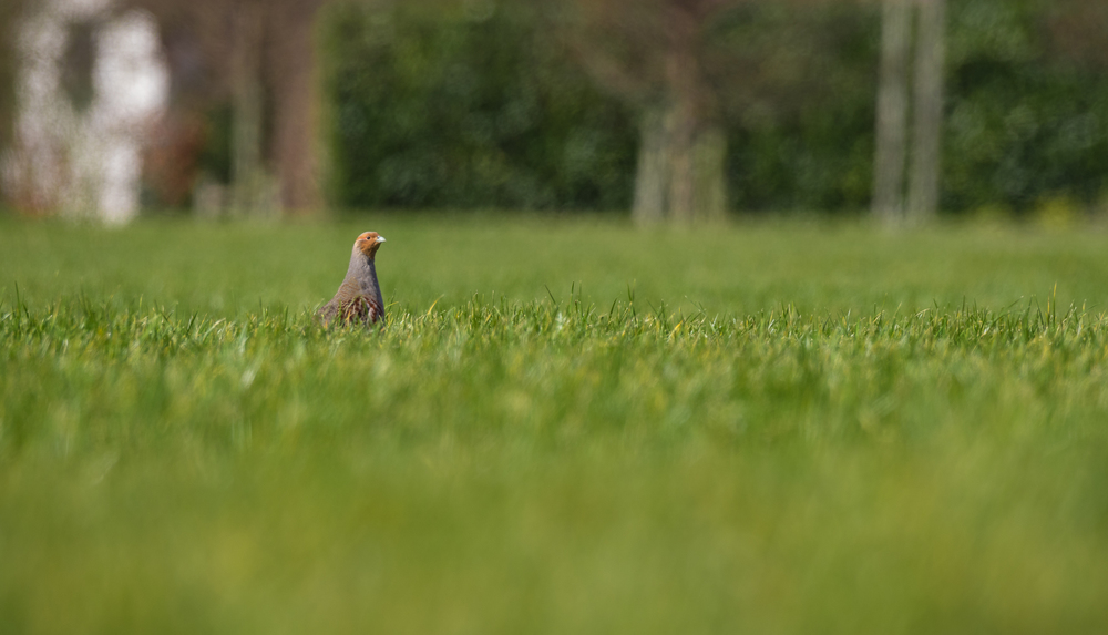 Grey partridge /Perdix perdix