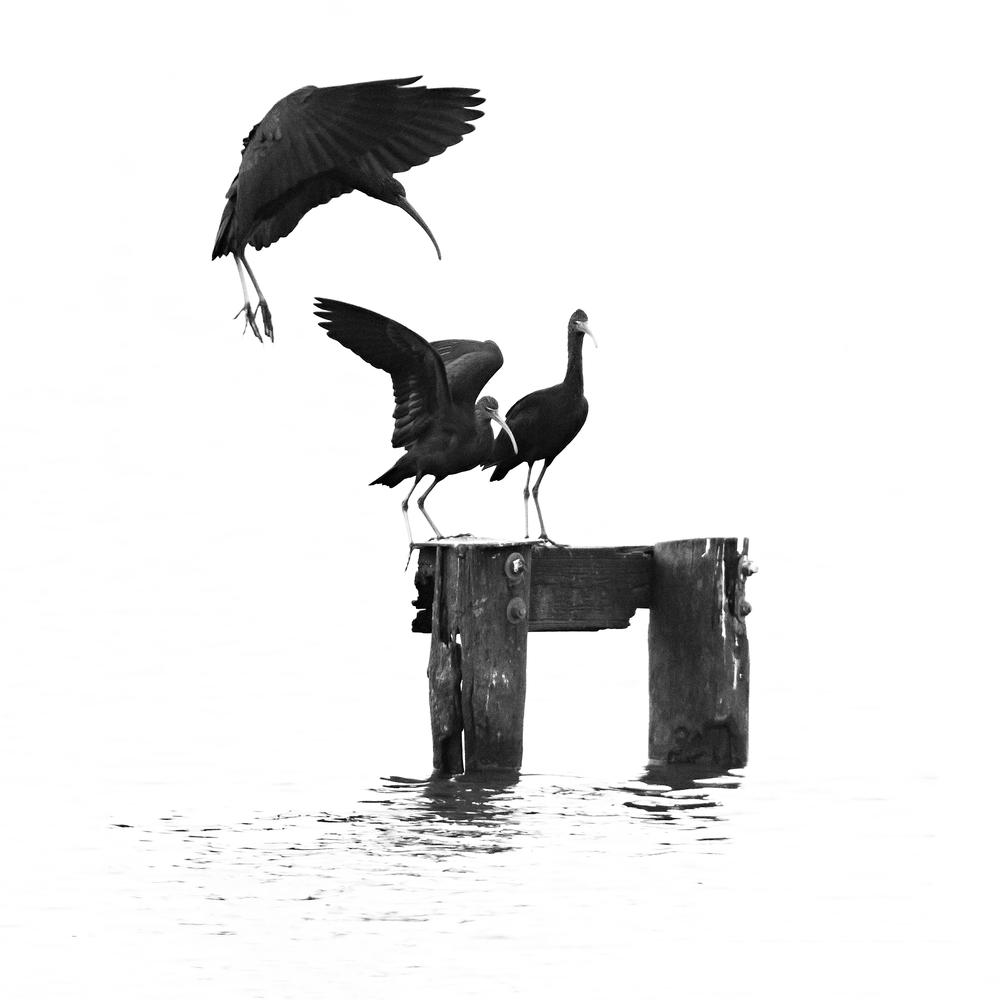 'Black' Ibis