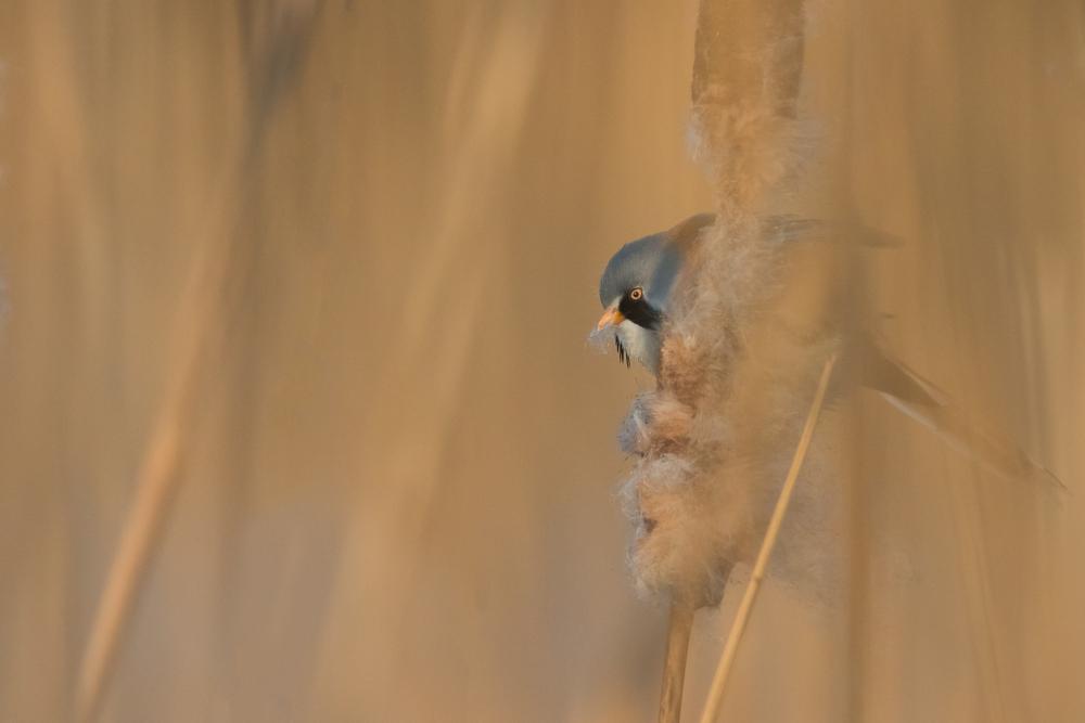 Eind van de dag lieten ze zich weer zien. Althans, als je door een paar meter riet kan kijken/fotograferen.Baardman(netje) /Panurus biarmicus
