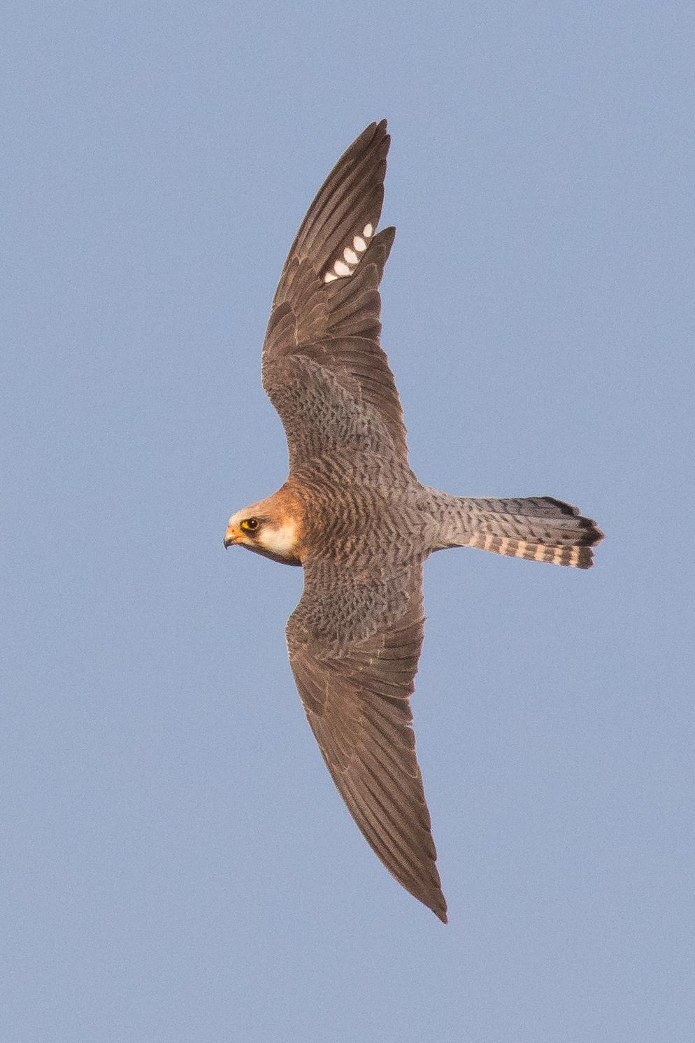 Roodpootvalk /Falco vespertinus