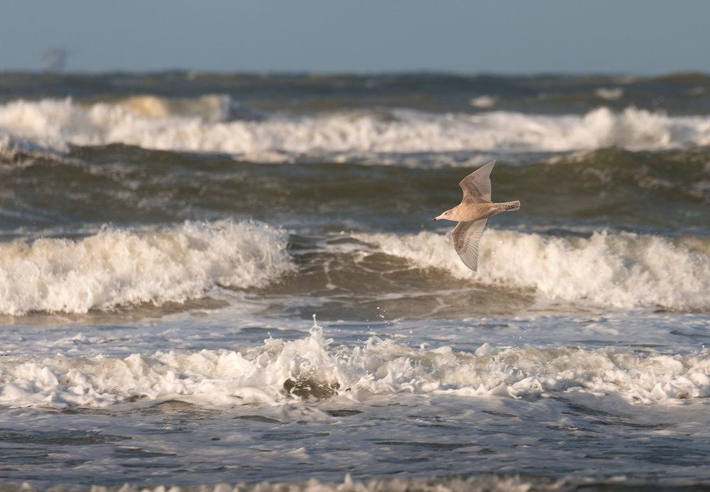 Glaucous Gull (Larus hyperboreus