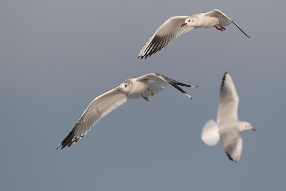 Common Gull (Larus canus) & Black-headed Gulls (Chroicocephalus ridibundus