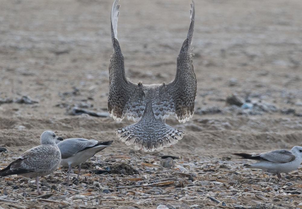 Viking Gull (Larus argentatus x L. hyperboreus). Look at those beautifully marked feathers!