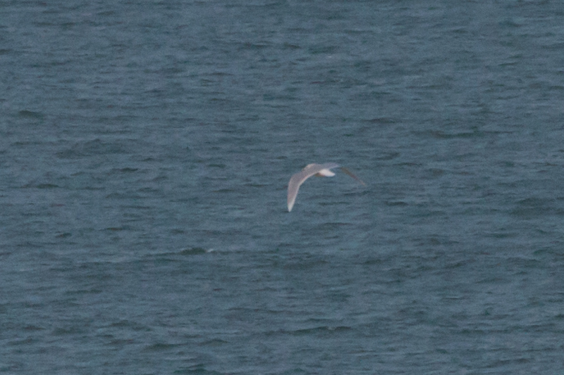 (Sub)Adult Iceland Gull, a crappy record shot
