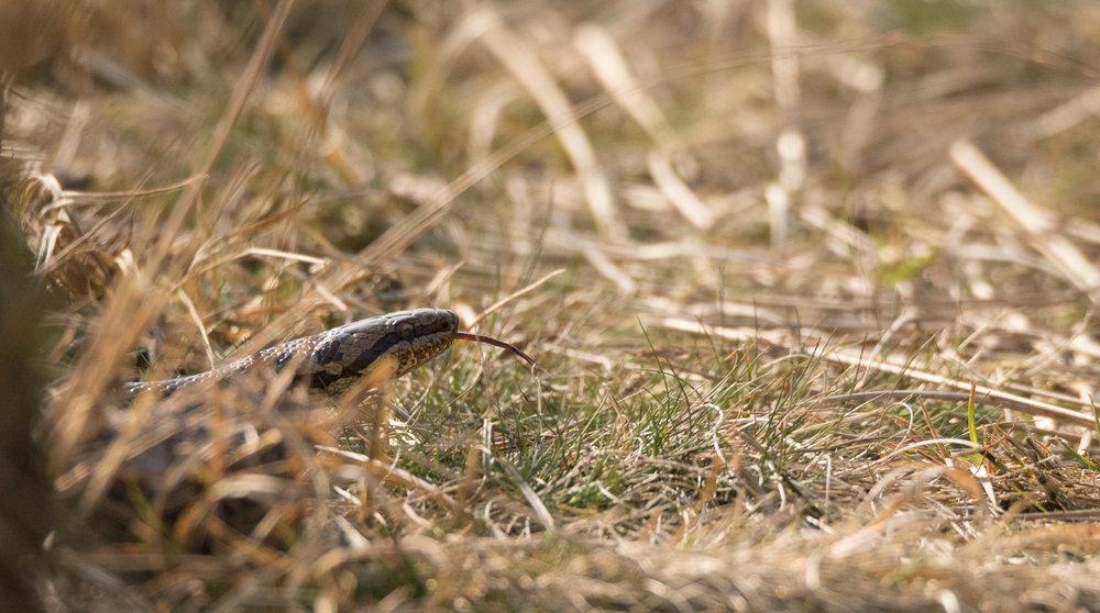 Smooth Snake ( Coronella austriaca )