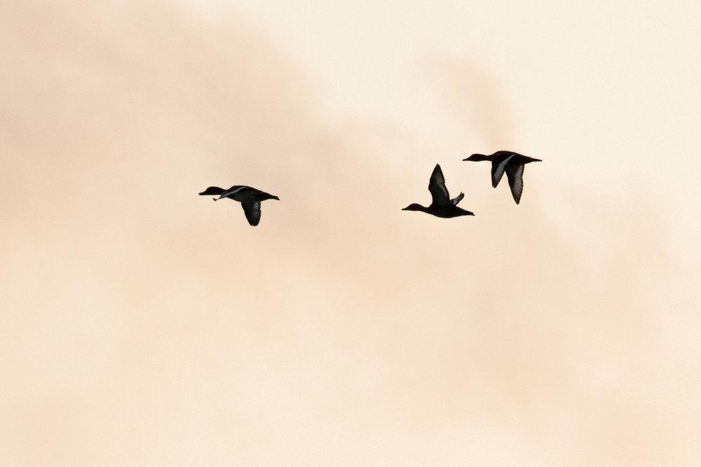 Ferruginous Ducks (Aythya nyroca
