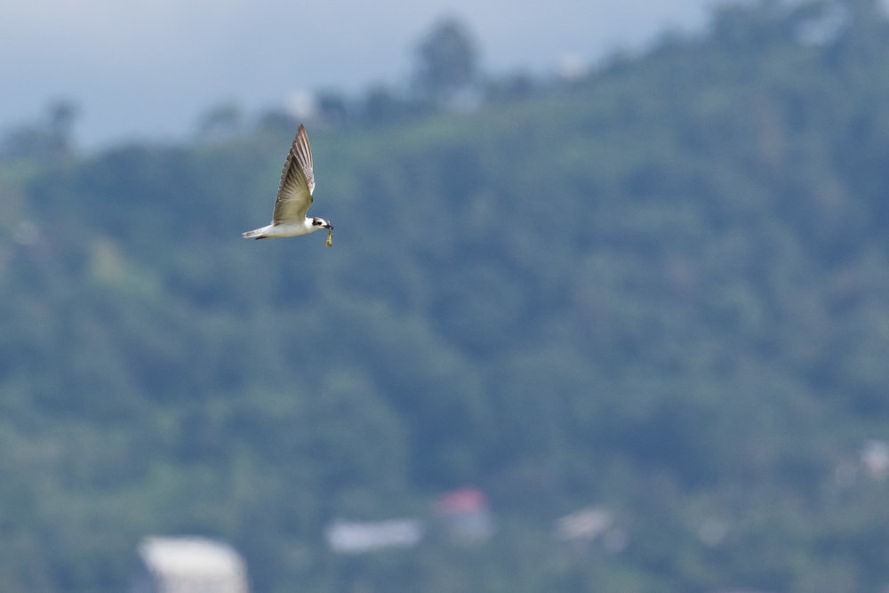White-winged Tern (Chlidonias leucopterus)