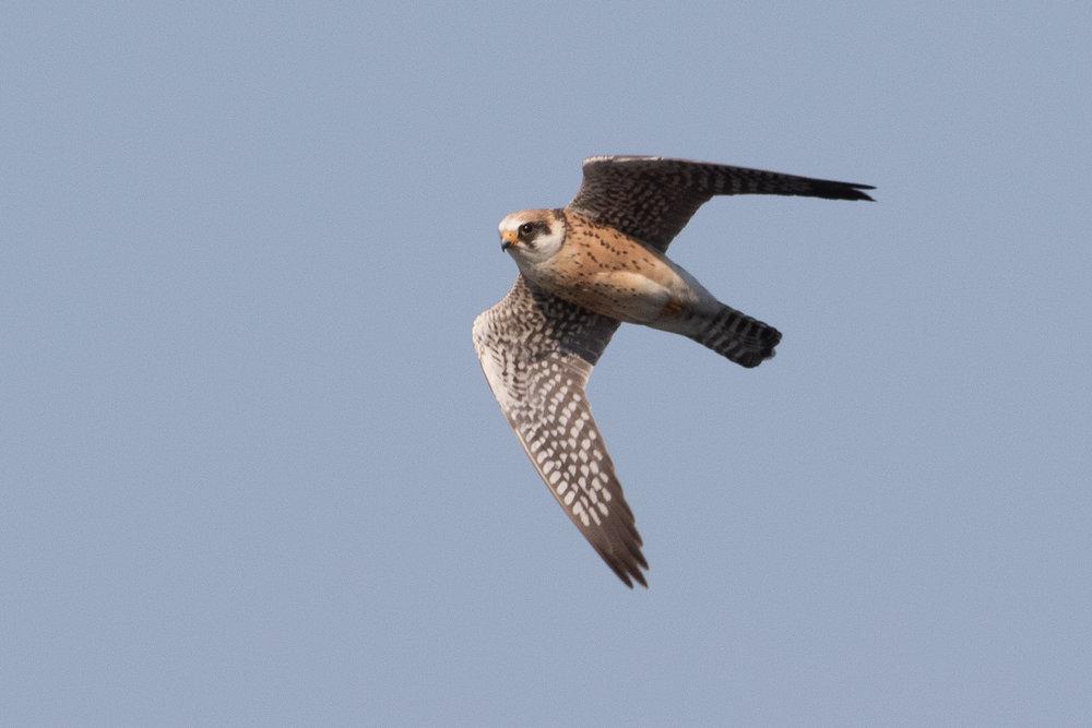 Red-footed falcon (Falco vespertinus) 2cy female - 12-05-2016 - Fochteloërveen