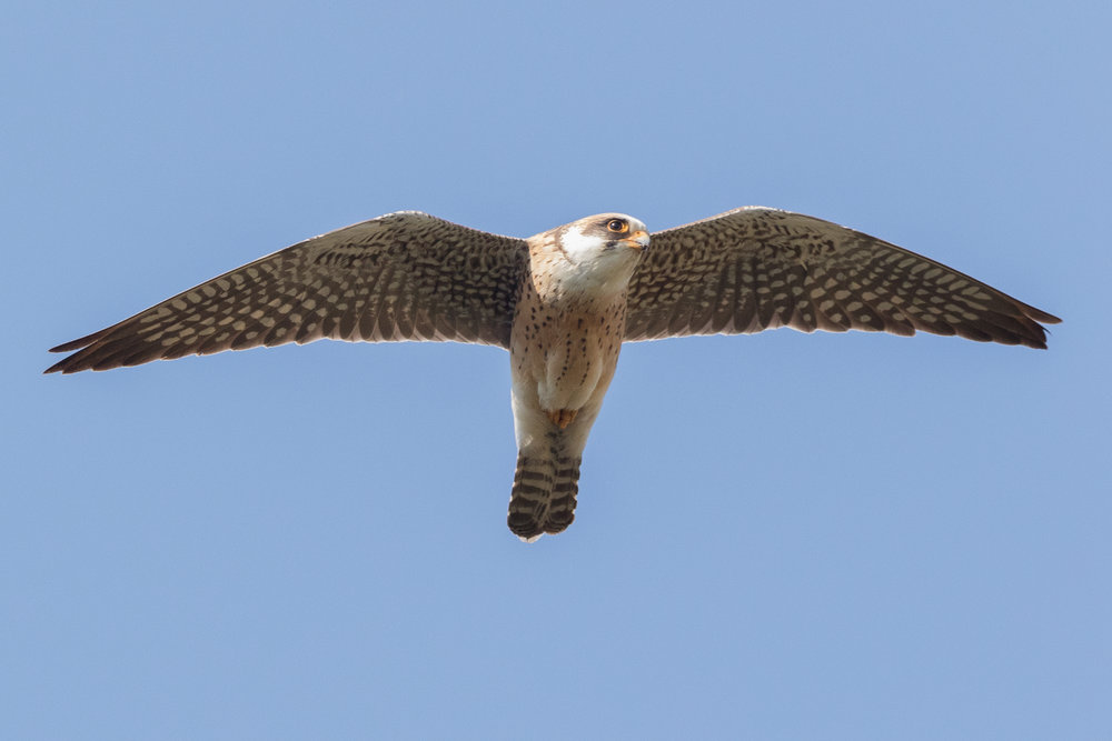 Red-footed falcon (Falco vespertinus) 2cy female - 12-05-2016 - Fochteloërveen