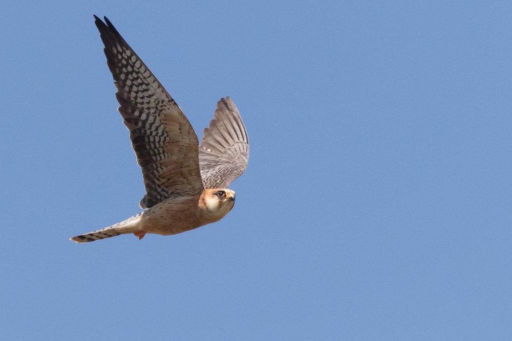 Red-footed falcon (Falco vespertinus) adult female - 12-05-2016 - Fochteloërveen