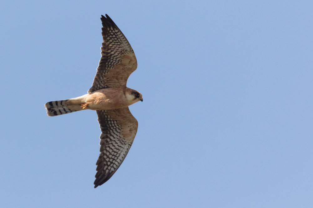 Red-footed falcon (Falco vespertinus) adult female - 12-05-2016 - Fochteloërveen