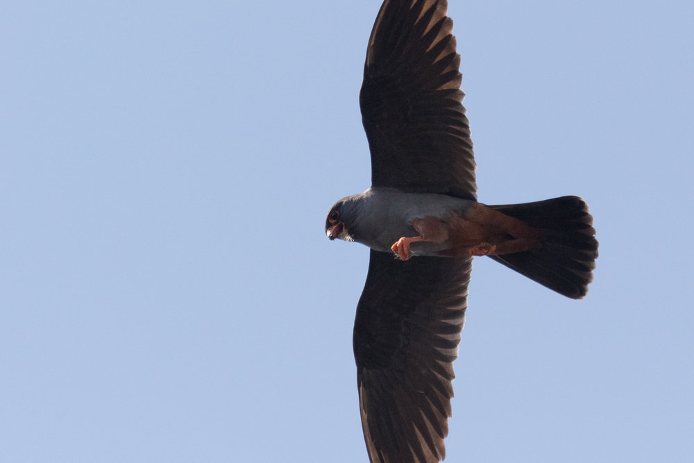 Red-footed falcon (Falco vespertinus) adult male - 12-05-2016 - Fochteloërveen