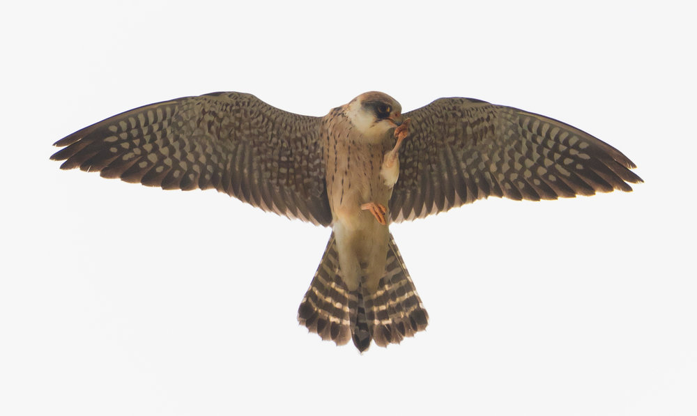 Red-footed falcon (Falco vespertinus) 2cy female - 10-05-2016 - Telpost Berkheide
