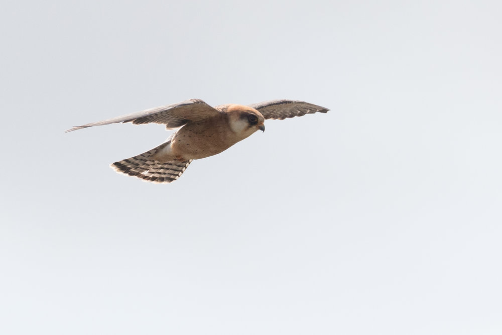 Red-footed falcon (Falco vespertinus) adult female - 14-05-2016 - Fochteloërveen