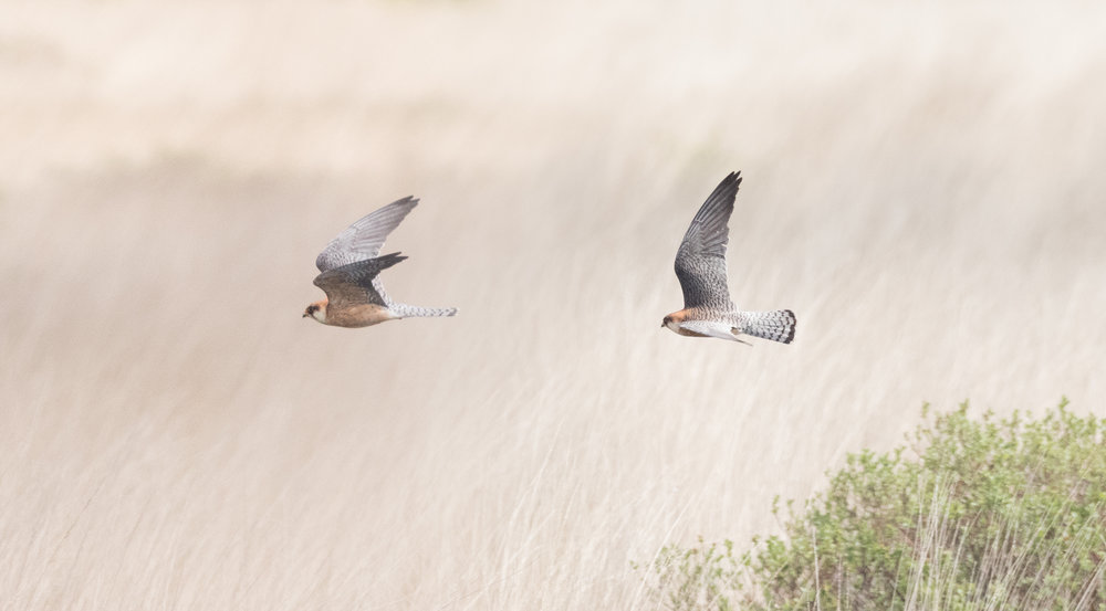 Red-footed falcon (Falco vespertinus) adult female - 14-05-2016 - Compilation - Fochteloërveen