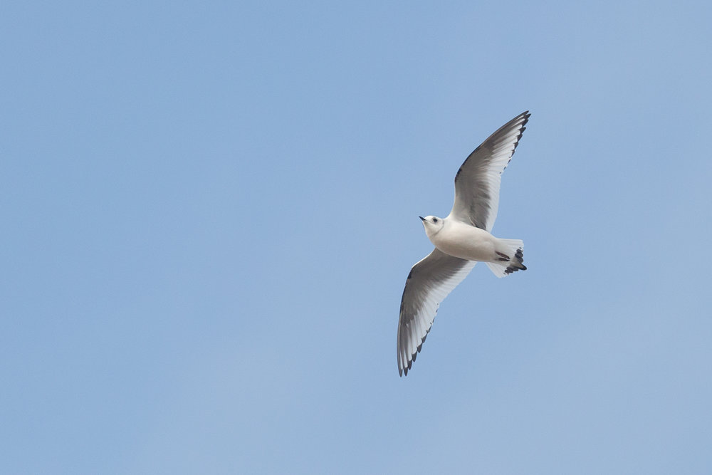 Ross' Gull (Rhodostethia rosea). Note the black subterminal spots on all primaries including P1.