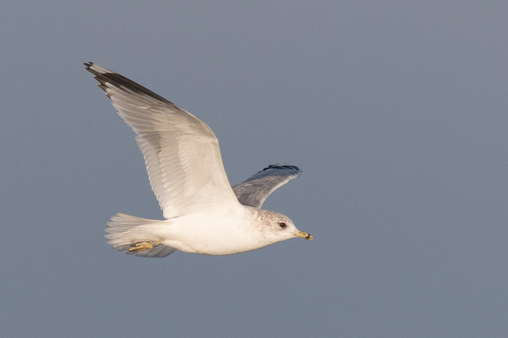 20170121-Common Gull Adult-08.jpg