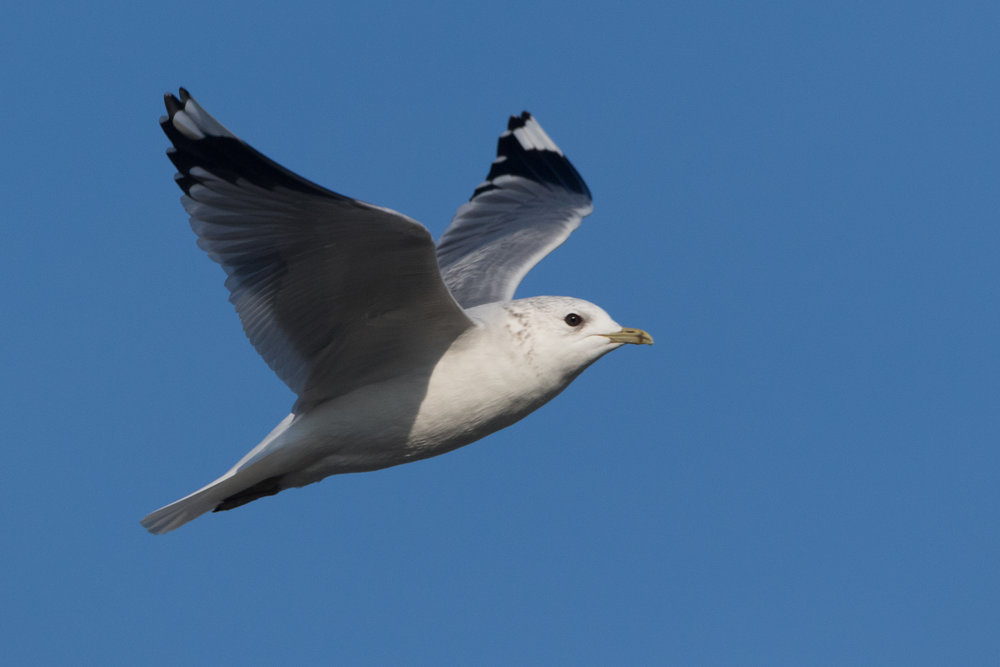 20170121-Common Gull Adult-11.jpg