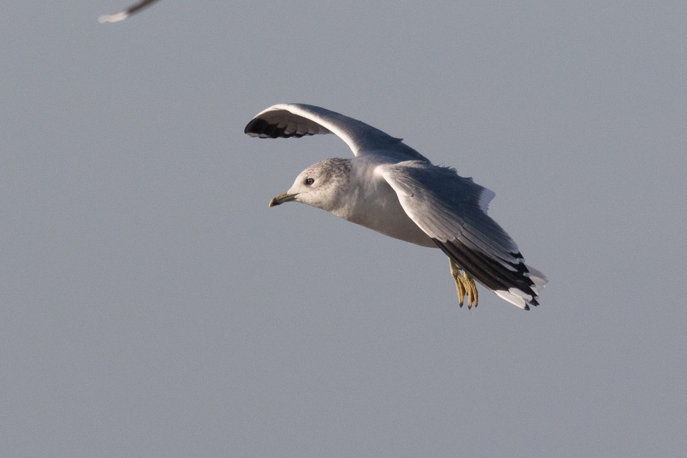 20170121-Common Gull Adult-16.jpg
