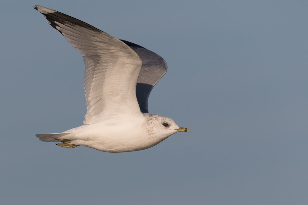 20170121-Common Gull Adult-20.jpg
