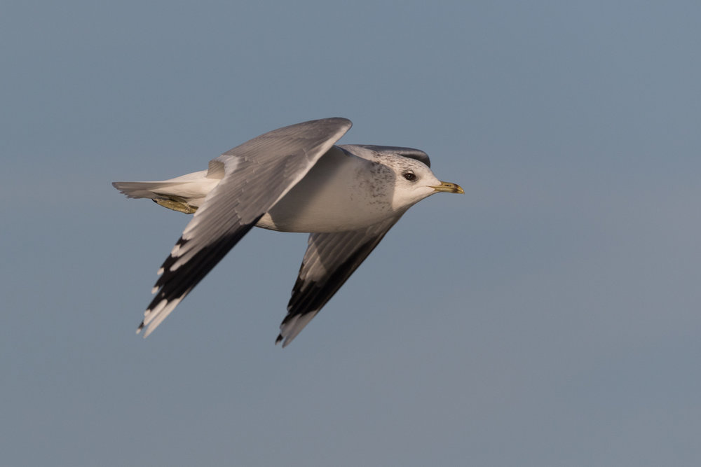 20170121-Common Gull Adult-21.jpg