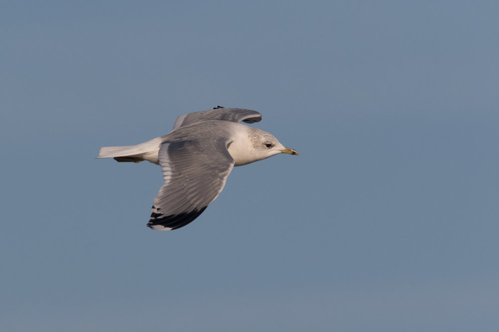 20170121-Common Gull Adult-22.jpg