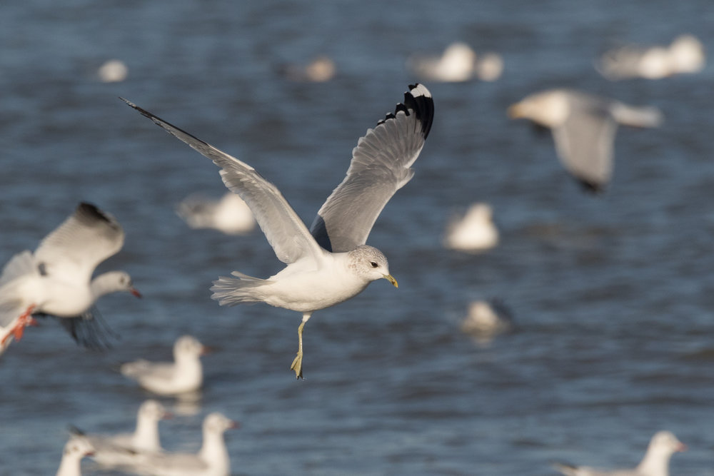 20170121-Common Gull Adult-27.jpg