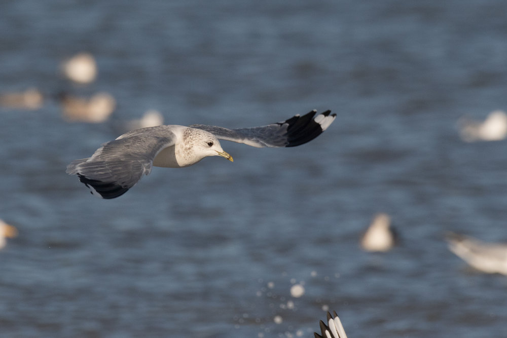 20170121-Common Gull Adult-29.jpg
