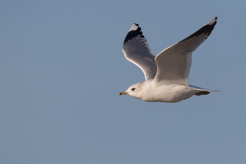 20170121-Common Gull Adult-31.jpg