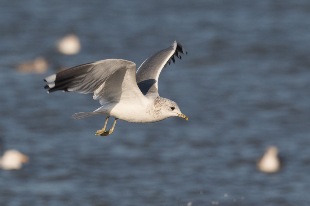 20170121-Common Gull Adult-30.jpg