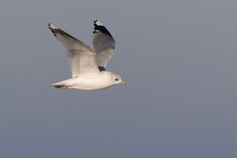 20170121-Common Gull Adult-32.jpg
