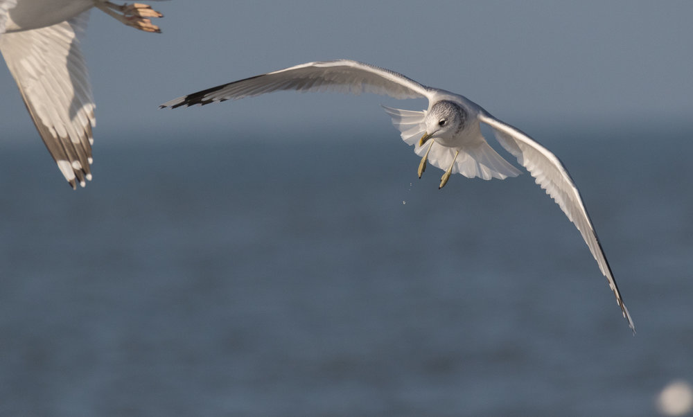 20170121-Common Gull Adult-37.jpg