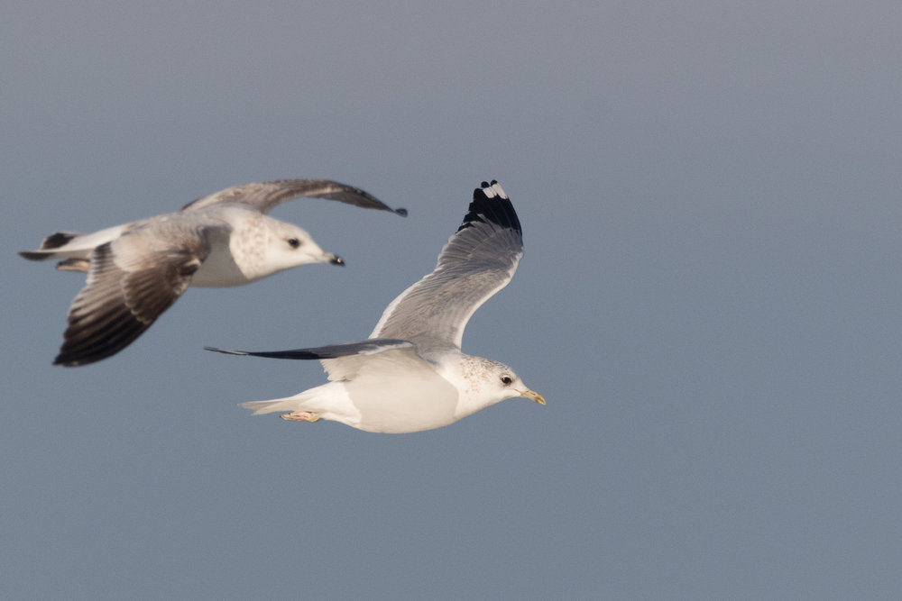 20170121-Common Gull Adult-40.jpg