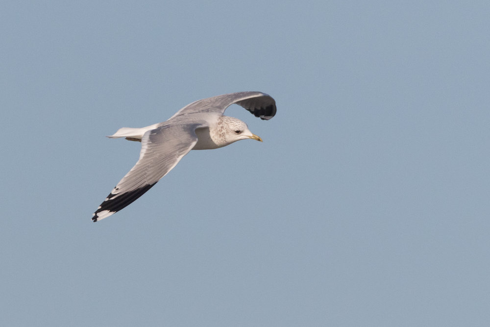 20170121-Common Gull Adult-42.jpg
