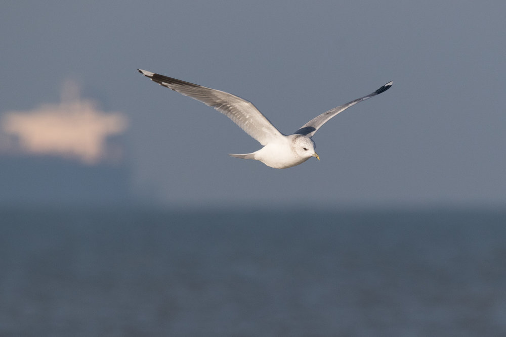 20170121-Common Gull Adult-53.jpg