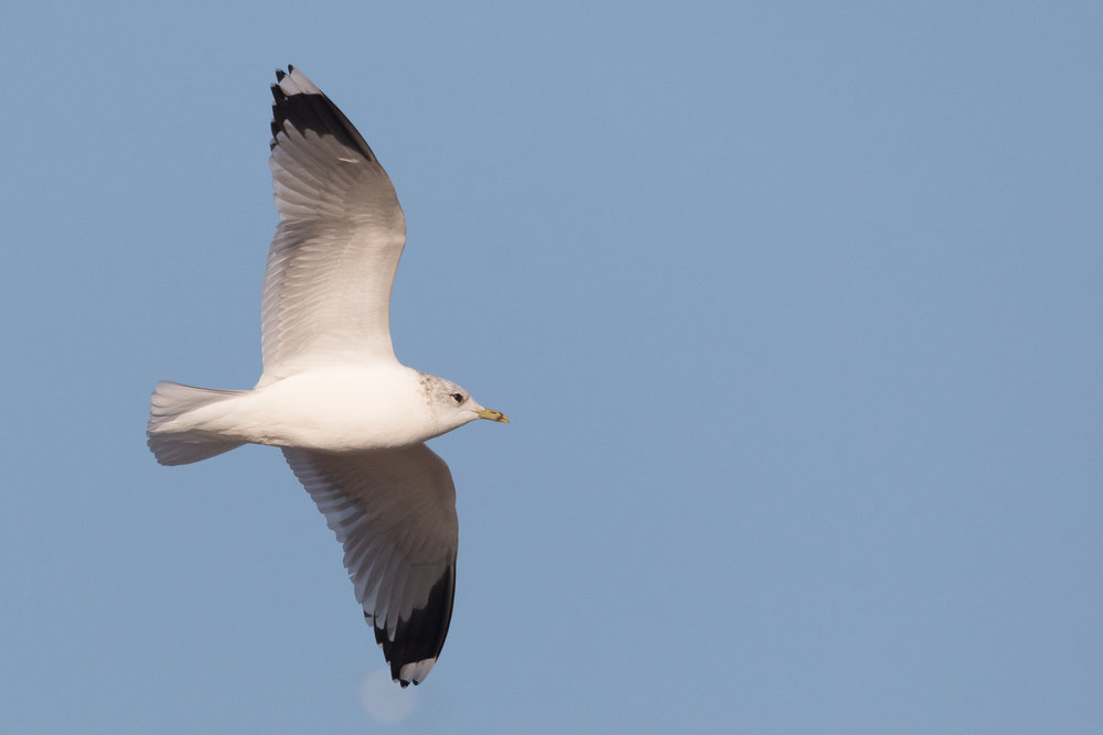 20170121-Common Gull Adult-63.jpg