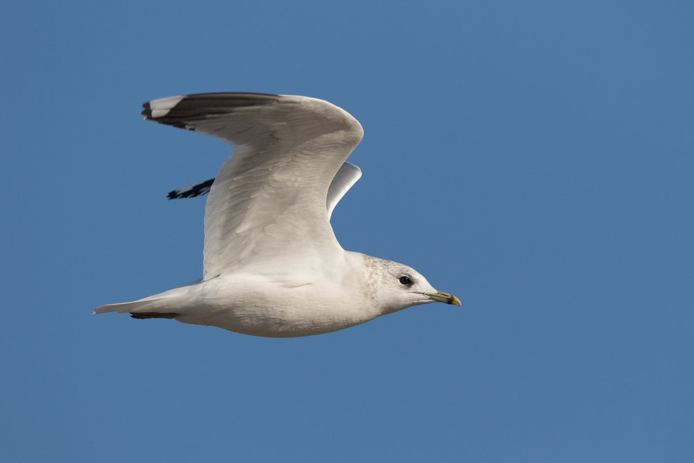 20170121-Common Gull Adult-64.jpg