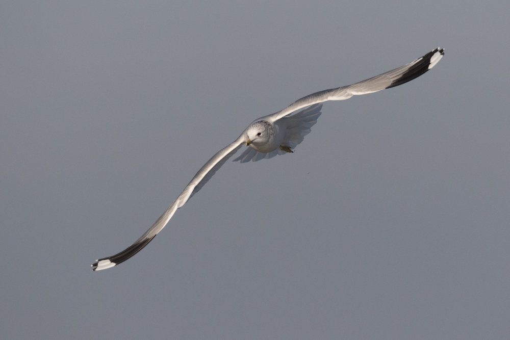 20170121-Common Gull Adult-76.jpg