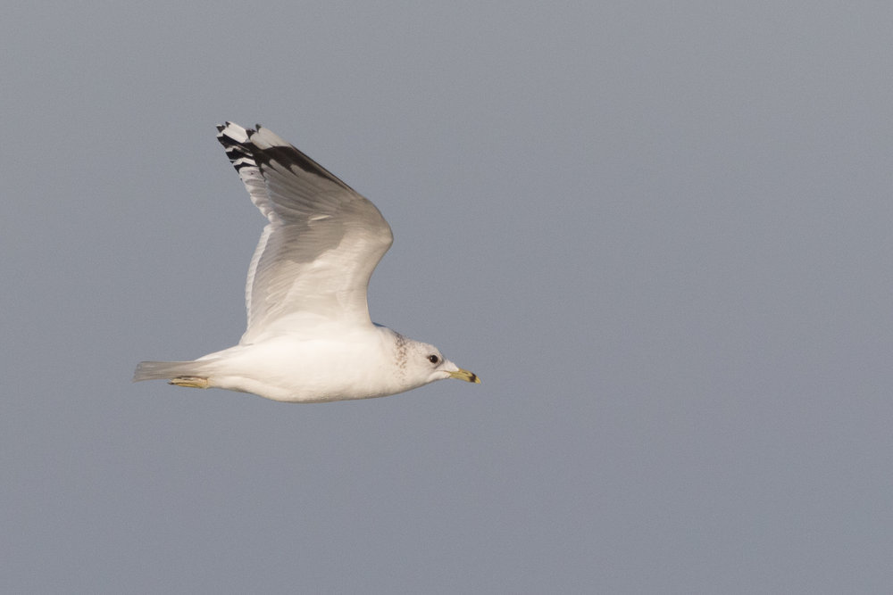 20170121-Common Gull Adult-78.jpg