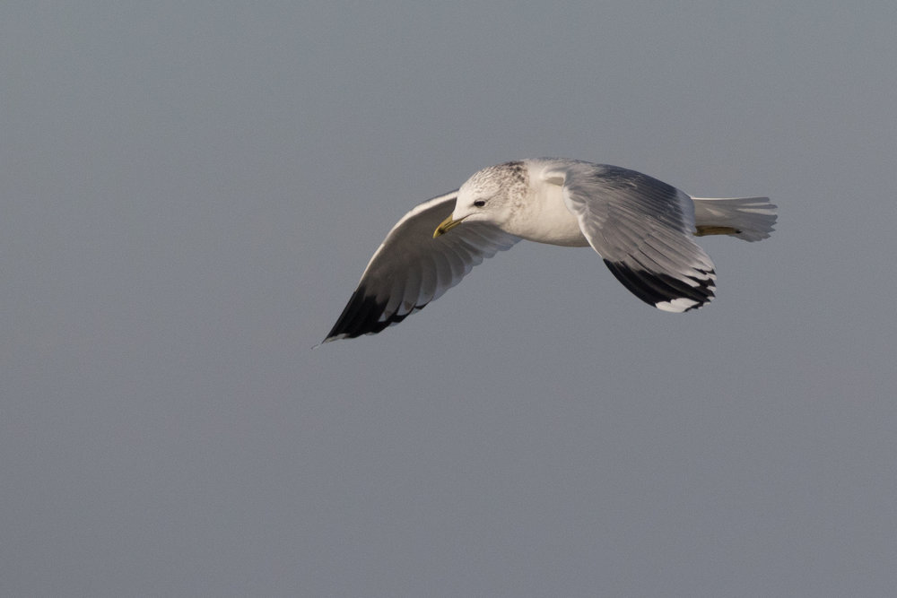 20170121-Common Gull Adult-77.jpg