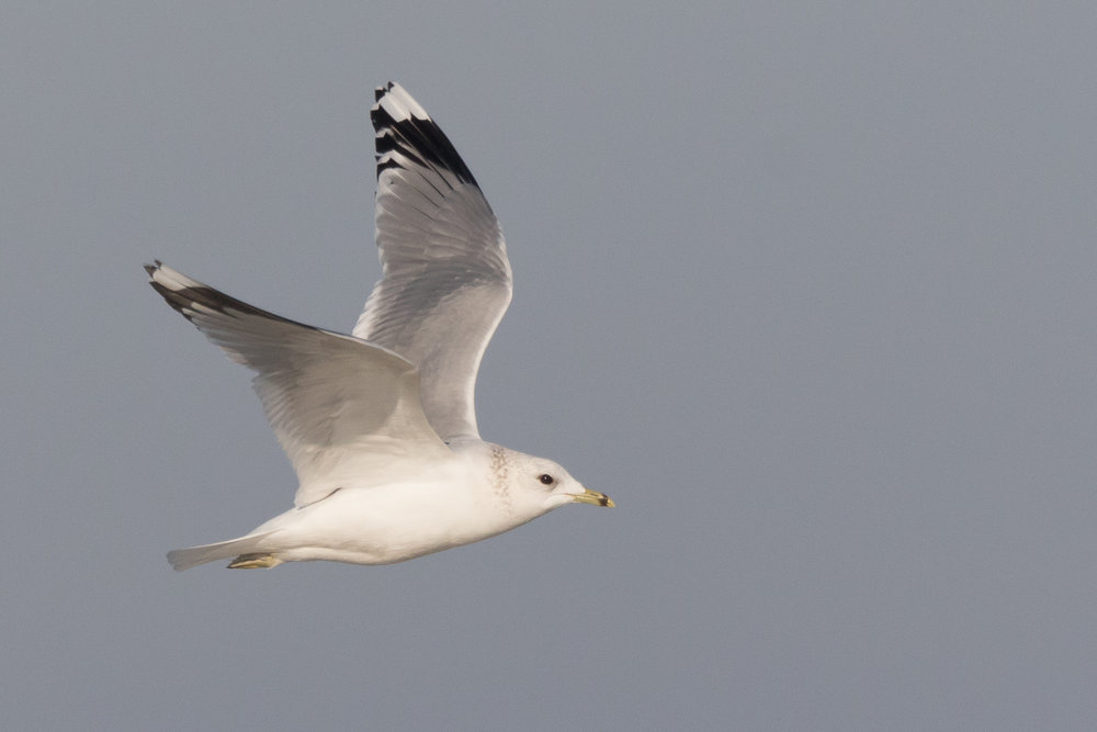 20170121-Common Gull Adult-81.jpg